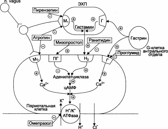 Механизм действия противоязвенных препаратов (схема)