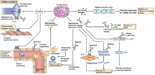 Эффекты гистамина (схема)