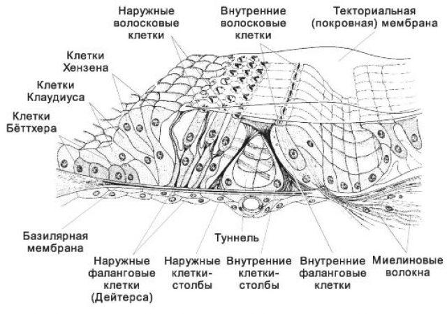 Кортиев орган (картина под микроскопом)