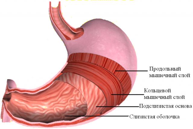 Мышцы желудка (схема)