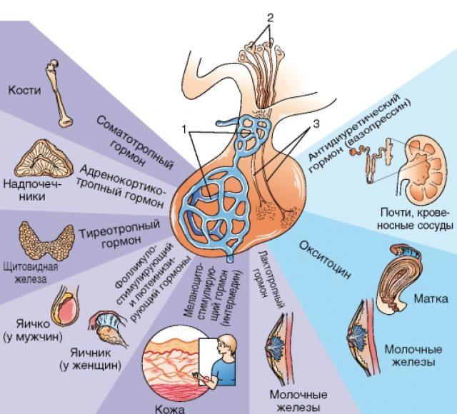 Гормоны гипофиза и их действие (схема)
