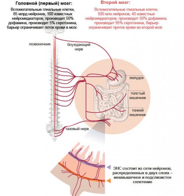Взаимодействие нервных окончаний кишечника и головного мозга (схема)