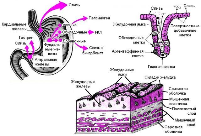 Механизм выработки соляной кислоты в желудке (схема)