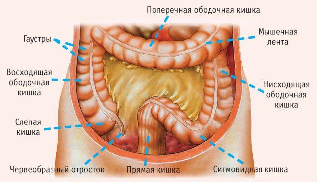Отделы кишечника (схема)