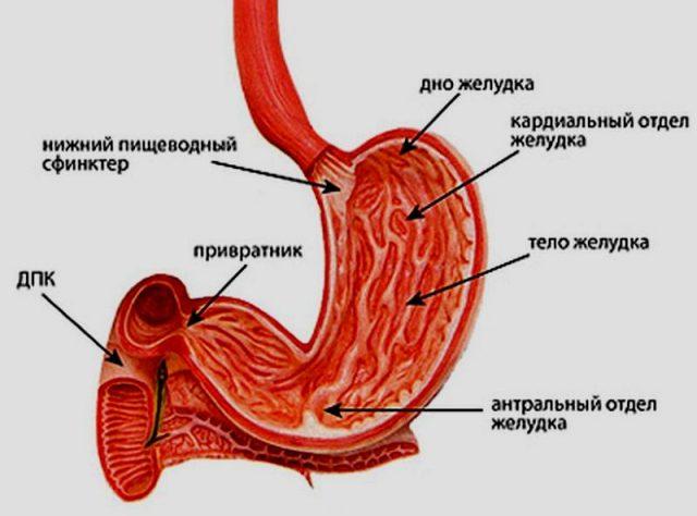 Строение желудка (схема)