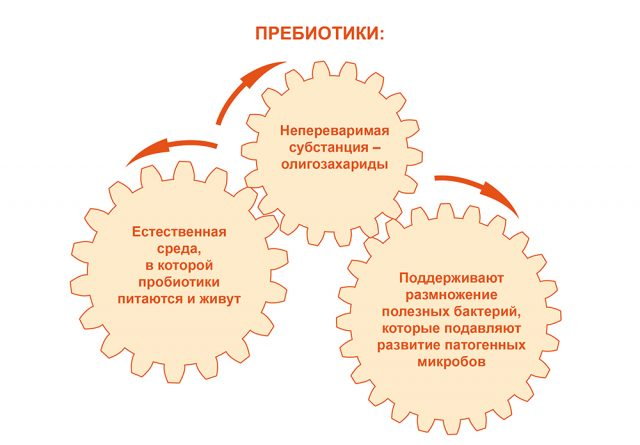 Действие пребиотиков на кишечник (схема)