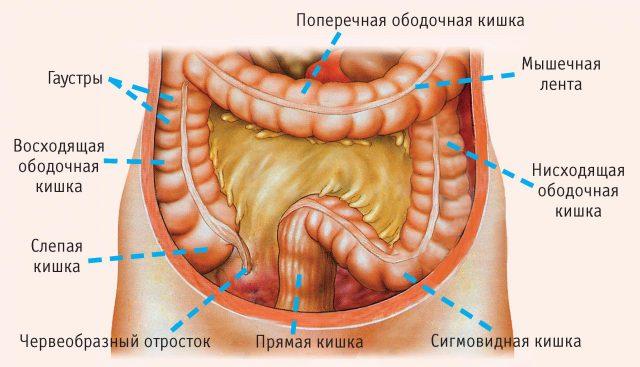 Строение толстого кишечника (схема)