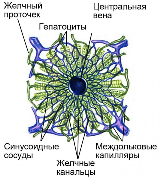 Строение печеночной дольки (схема)