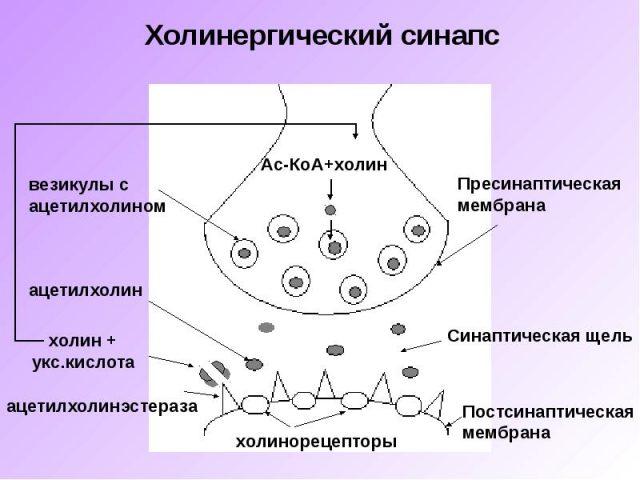 Строение холинергического синапса (схема)