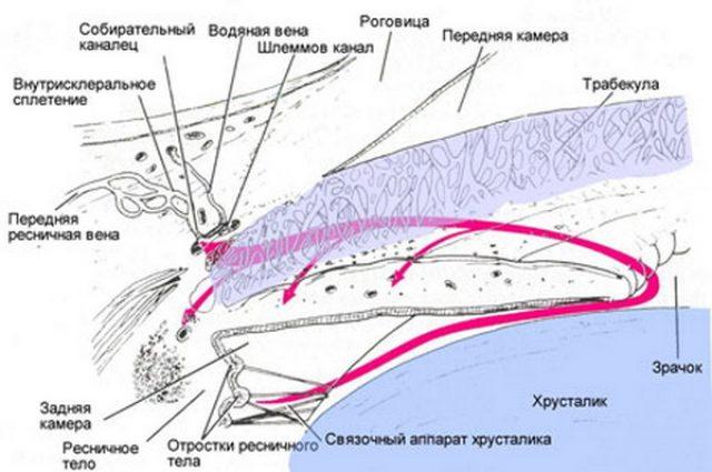 Строение дренажной системы глаза (схема)