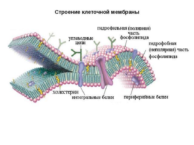 Строение мембраны гепатоцита (схема)