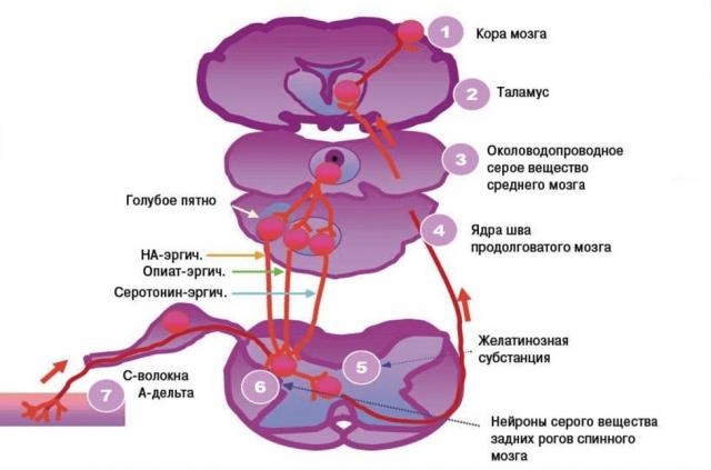 Пути болевого нервного сигнала (схема)