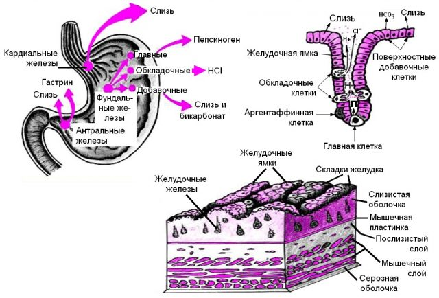 Желудочные железы (схема)