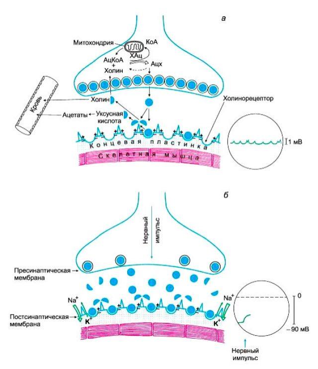 Холинергический синапс (схема)