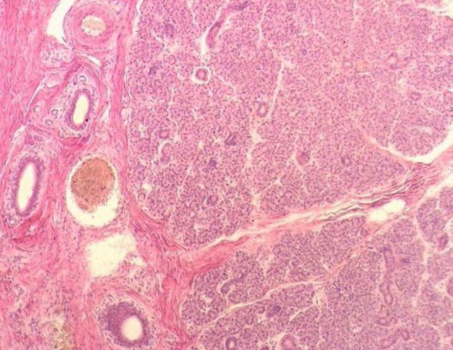 Строение слюнной железы (картина под микроскопом)