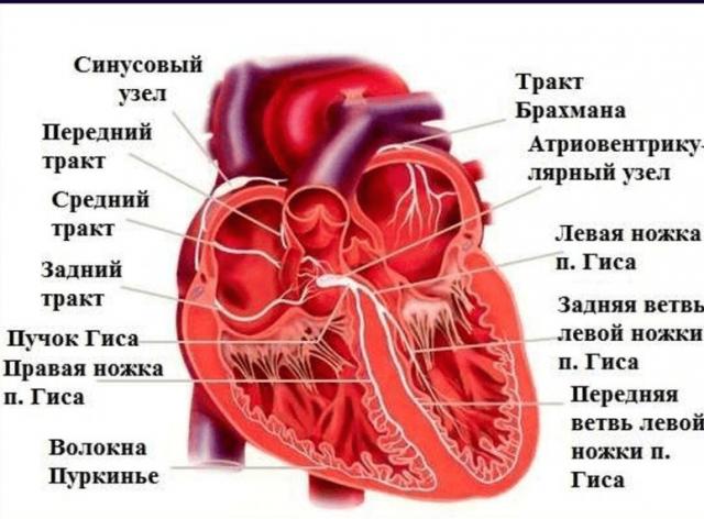 Проводящая система сердца (схема)