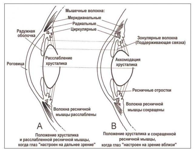 Механизм аккомадации (схема)
