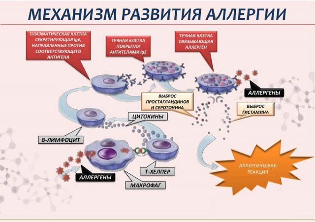 Механизм аллергической реакции (схема)