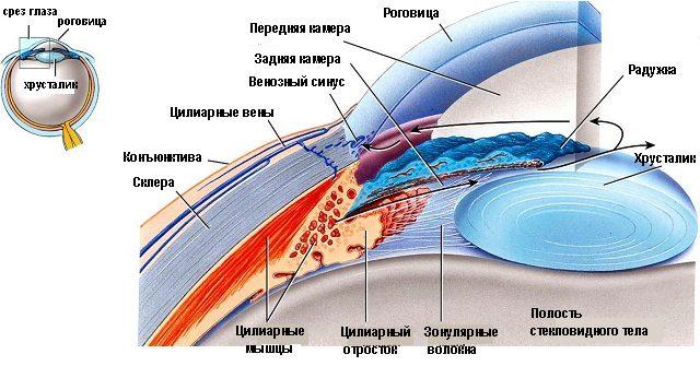 Строение угла передней камеры глаза (схема)