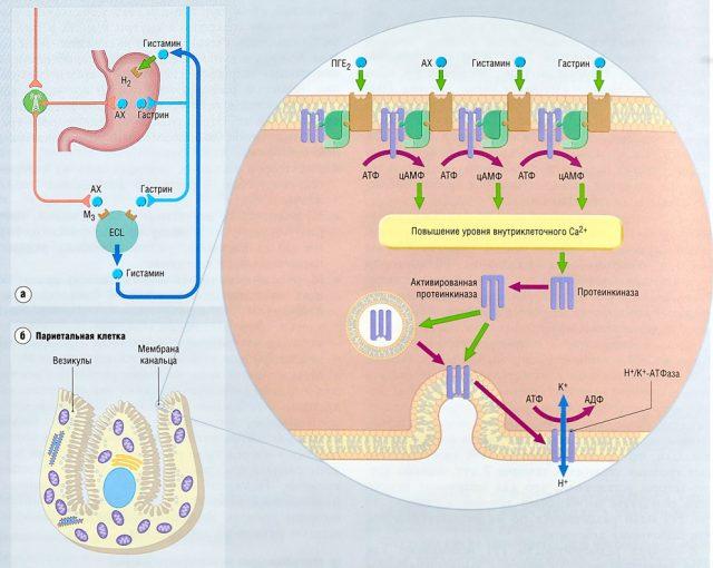 Механизм действия протонной помпы