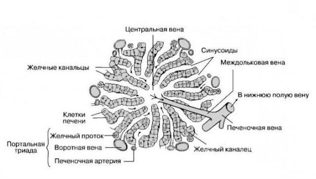 Строение печёночной дольки (схема)