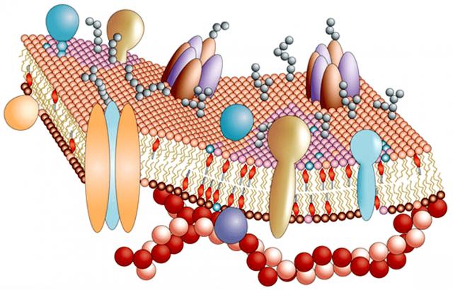 Строение внешней оболочки гепатоцита (схема)