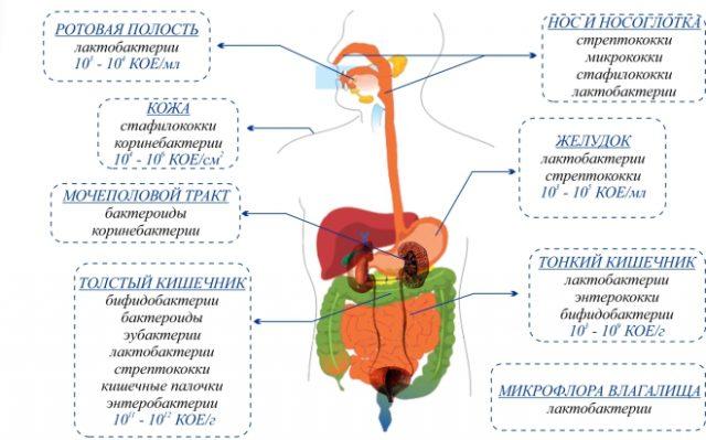 Нормальная микрофлора человека (схема)