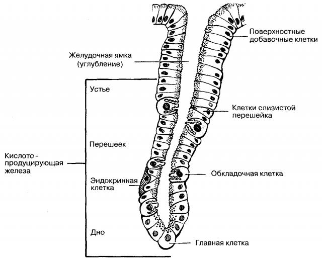Железы желудка (схема)