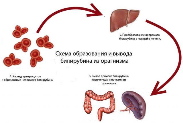 Схема образования и выведения билирубина