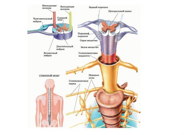Строение спинного мозга (схема)