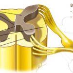 Строение поперечного среза спинного мозга (схема)