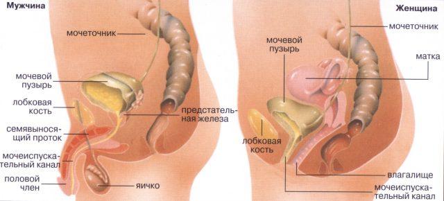 Строение мужских и женских мочевыводящих органов