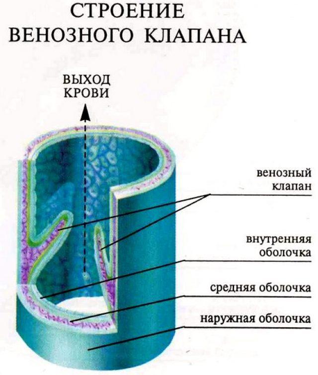 Строение венозного клапана