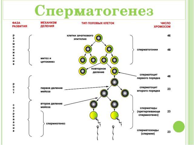 Сперматогенез (схема)