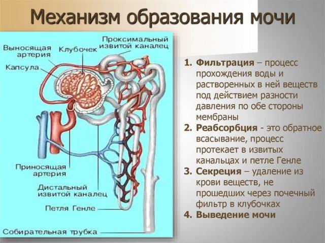 Схема образования мочи