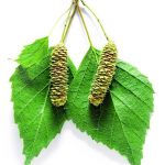 Почки и листья берёзы