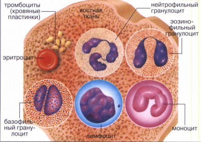 Виды белых клеток крови (схема)