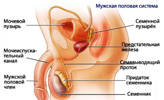 Строение мужских половых органов