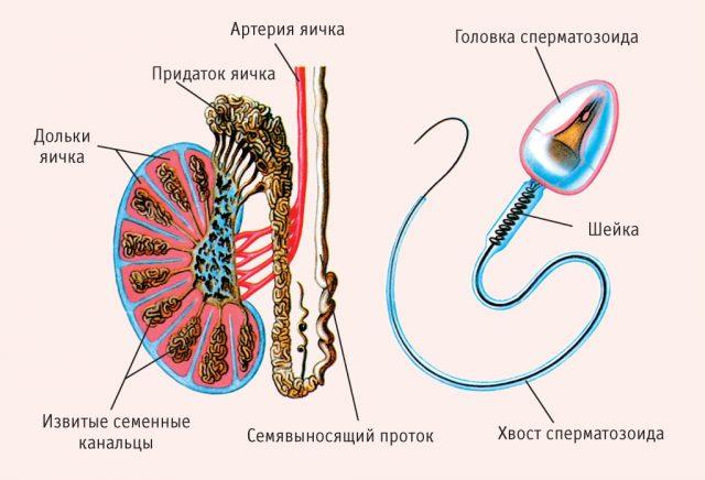 Строение яичка и сперматозоида