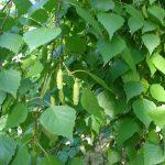 Берёзовые листья