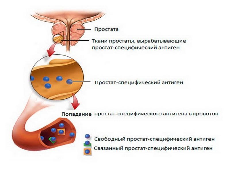 Кровь пса простатит нервная почва обострение простатита