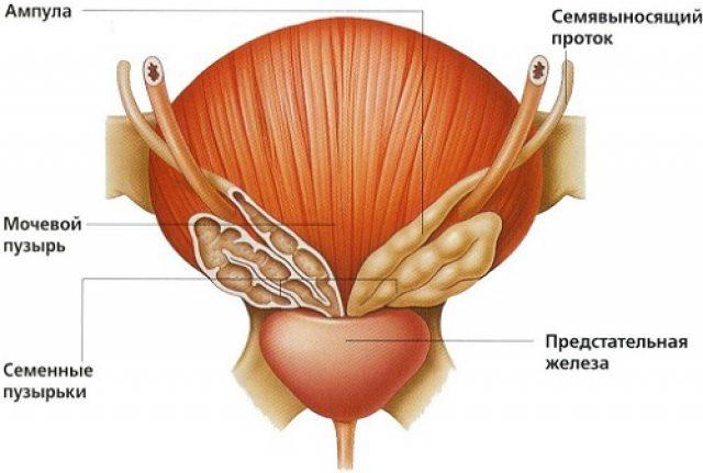 Простата, семенные пузырьки и мочевой пузырь (схема)