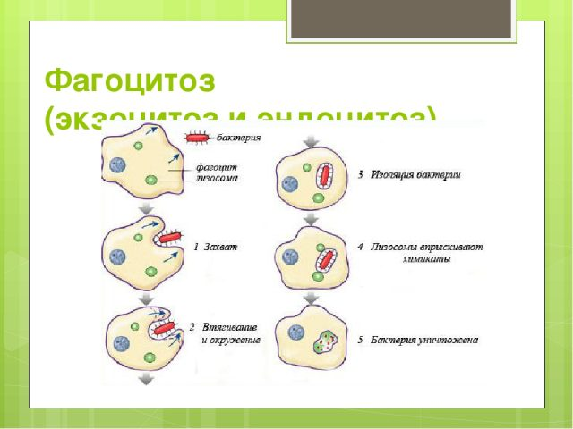 Фагоцитоз (схема)