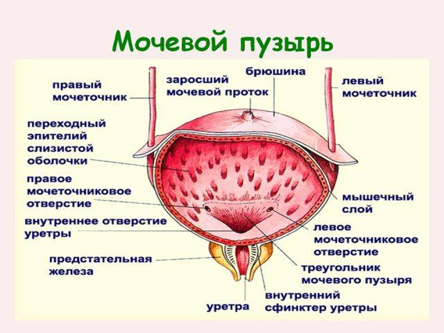 Строение мочевого пузыря на схеме