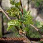 Виноградные побеги