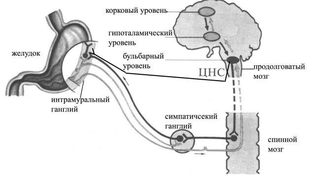 Иннервация желудка (схема)