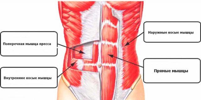 Строение мышц живота