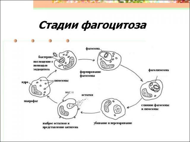 Стадии фагоцитоза