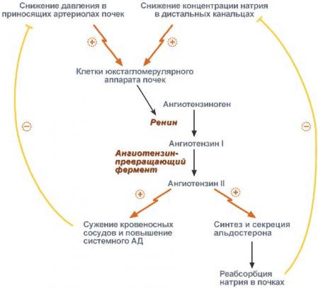 Ренин-ангиотензин-альдостероновая система (схема)