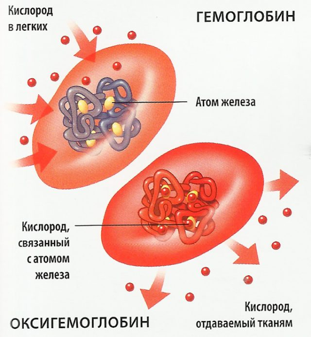 Схема переноса кислорода гемоглобином